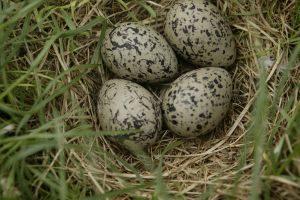 Bescherming legnesten en fauna in grasland
