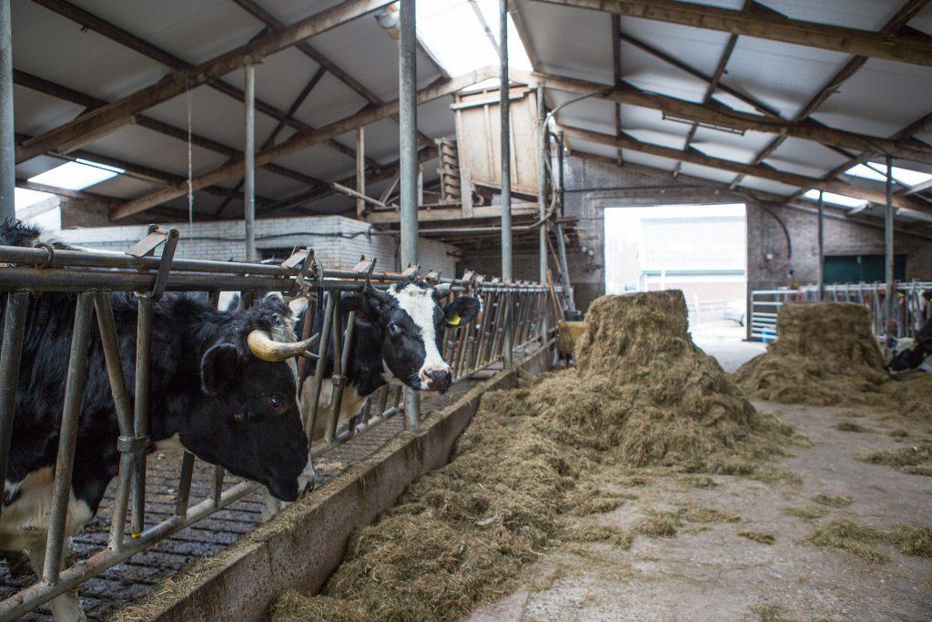 De huidige melkveestal wordt gerenoveerd en in gebruik genomen voor het houden van biologische melkkoeien.