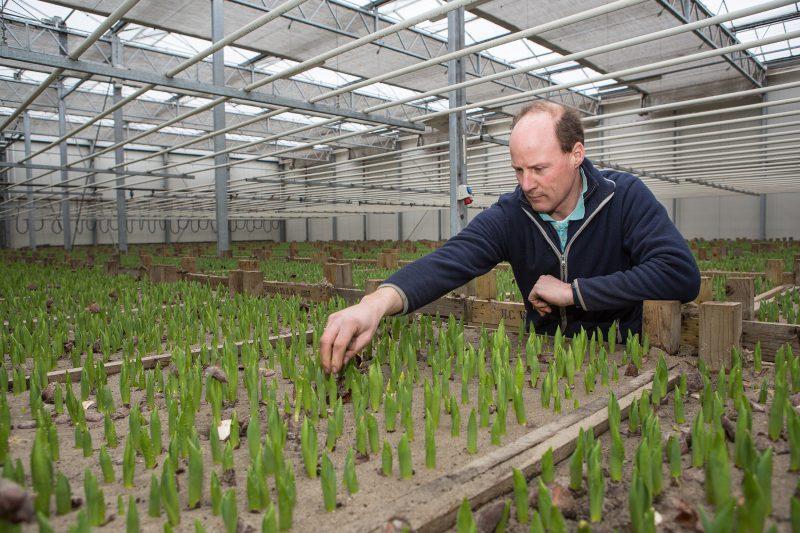 Henk Verdegaal schoont zijn tulpenbollen op in de kas