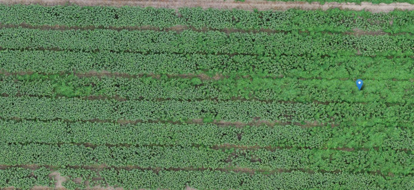 Onderschrift: Screenshot van perceel lelies met op plekken haagwinde (vooral rechts zichtbaar).